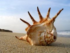 Hutchinson Island Florida beachcombing and shelling. Sea shells, sea glass and sea beans found on the beaches of Hutchinson Island, Florida. Shell Beach, Ocean Beach, Big Shell, Vero Beach, Sand Beach, Beach Bum, Wallpaper Original, Vida Animal, Beach Wallpaper
