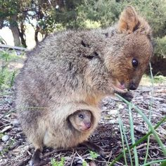 The quokka (Setonix brachyurus) is a small marsupial of the family of macropodids (the best known being the kangaroos) … Mother quokka and her baby. Happy Animals, Cute Baby Animals, Animals And Pets, Funny Animals, Animals Images, Wild Animals, Beautiful Creatures, Animals Beautiful, Beautiful Beautiful