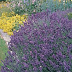 Lavender: Repels fleas, ticks, deer, moths, mice, black fly and mosquitoes.