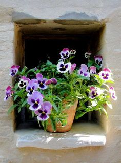 Spring - Pansies