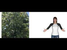 Avocado Leaf Tea Benefits Avocado Leaves, Avocado Plant, Kidney Disease Symptoms, Degenerative Disease, How To Relieve Migraines, Avocado Health Benefits, Kidney Health, Deal With Anxiety, Tea Benefits