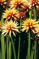 La flor de Inírida, Guacamaya superba, pertenece a la familia botánica de las Rapateáceas; su tallo es similar al del pasto y abunda en las ...