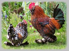 Barbu d'Uccle Millefleur pair (click to download 2.75MB original)