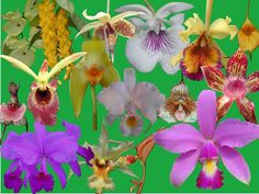 Colombian Orchids