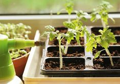 Learn to grow an herb garden, a flower bed, and a vegetable garden with this homestead handbook. Get the tips and everything you need to know here. Herb Garden, Garden Beds, Garden Plants, Indoor Plants, Garden Club, Growing Vegetables Indoors, Growing Plants, Culture D'herbes, Seed Raising