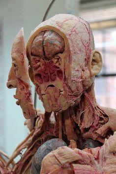 Plastination of the human body by Gunther von Hagens Anatomy Head, Gross Anatomy, Body Anatomy, Anatomy Art, Anatomy Images, Canon Body, Gunther Von Hagens, Human Anatomy And Physiology, Medical Art