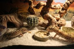 leopard gecko tank | Leopard Gecko Tank Set Up - informed is forearmed http://www.amazon.co.uk/dp/B01BRJ3P2M