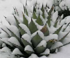 Denver Botanic Gardens winter   ... garden at Denver Botanic Gardens offers a bold form in a winter garden
