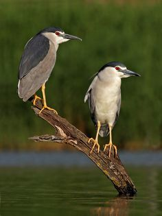 Night Heron - pair by Ofer Levy