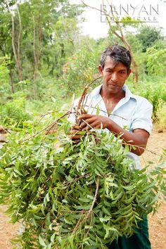 Harvesting Neem Leaves.