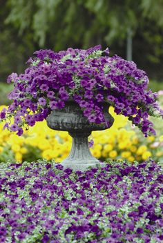 Beautiful Focal point in the back yard.....Use Easy Purple Wave Petunias in a cement urn.  Love the Yellow background.