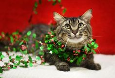 , an adopted Domestic Medium Hair & Tabby Mix Cat, from Sangamon County Animal Control Center in Springfield, IL on Petfinder. Learn more about Fluffy - ADOPTED! Animal Adoption, Animal Rescue, Pet Adoption, Adoption Websites, Christmas Kitty, Animal Control, Animal Shelter, Medium Hair Styles, Dog Cat