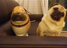 Pugs have a variety of facial expressions. For that reason, pug memes are funny and I hope these 101 dog memes featuring pugs bring a smile to your day! Pet Pug, Dog Cat, Dog Pictures, Funny Pictures, Funny Images, Funny Pics, Dog Photos, Funny Videos, Funny Animal Videos