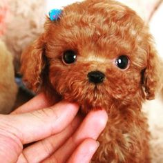 91 Best Micro Poodle Images Poodle Teacup Puppies Tea