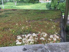 Rostliny na zelenou strechu
