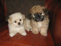 peekapoo puppy!