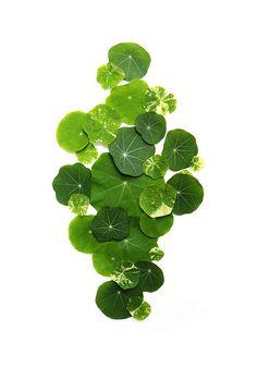 nasturtium leaves....*simply* beautiful.