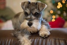 """Acquire excellent tips on """"schnauzer puppies"""". They are accessible for you on our internet site. Miniature Schnauzer Puppies, Schnauzer Puppy, Pet Dogs, Dog Cat, Doggies, Beagle Dog, Cute Puppies, Dogs And Puppies, Standard Schnauzer"""