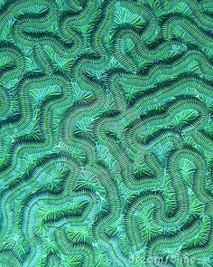 Brain Coral Detail Stock Photography - Image: 3369422