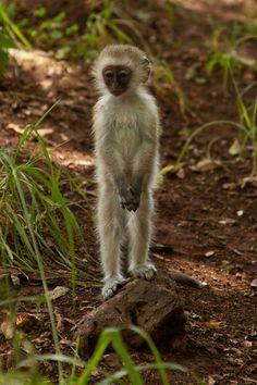 For t, the monkey lover.Little man :) Vervet Monkey. Primates, Mammals, Cute Creatures, Beautiful Creatures, Animals Beautiful, Animals And Pets, Baby Animals, Cute Animals, Wild Animals