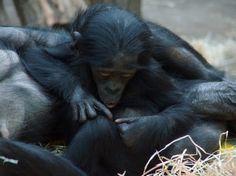 A young Bonobo