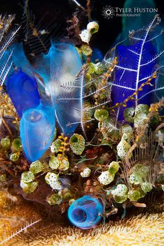 Blue Tunicates by Tyler Huston