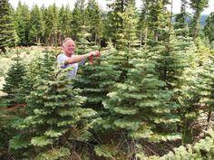 Tender Loving Tree Care at Poppy Lane Christmas Tree Farm