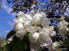 Apfel mit Biene #flower #apple #bee #biene #obst #food #gardening #nature