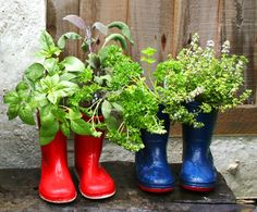 Gumboot Planters - one of the easiest ways to get kids into the garden growing fresh herbs, salad greens & edible flowers. When they outgrow their boots, punch drainage holes in the bottom, add potting mix, organic fertiliser & water in your seedling. | The Micro Gardener