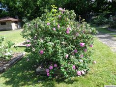 Photo of the rose 'Belle Poitevine' Rose Photos, Stepping Stones, Roses, Exterior, Gardening, Outdoor Decor, Flowers, Plants, Beautiful