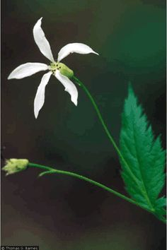 Gillenia stipulata American Ipecacuanna, American ipecac