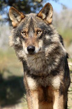 "k0dah: ""Iberian Wolf """