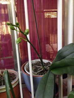 Orquídea amarela e fúcsia