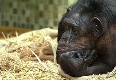 Juízes decidem: chimpanzés não têm os mesmos direitos dos humanos - Fernando Moreira: O Globo