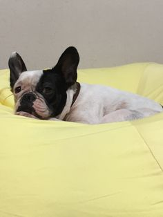 #frenchbulldog