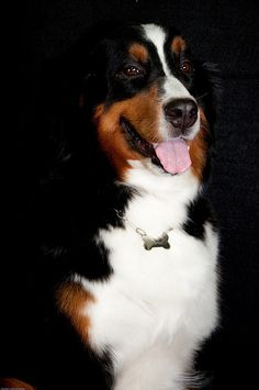 Sweet (Bernese Mountain Dog), nice dog needs nice house! #luxurydoghouses