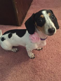 The traits we admire about the Daschund Piebald Dachshund, Red Dachshund, Daschund, Dauchshund Puppy, I Love Dogs, Puppy Love, Cute Puppies, Cute Dogs, Animals And Pets