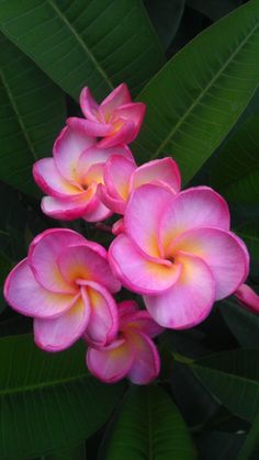 """Plumeria 4222 """"one of the best smelling Plumerias out there hands down!! Her fragrance is a strong perfume smell which I really can't compare it to anything but a heavenly women's perfume. """""""