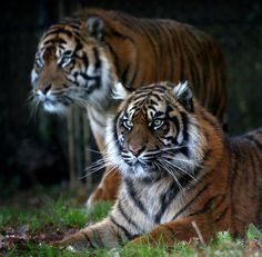 Watchful Tiger Eyes | by Ger Bosma
