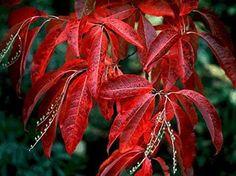 Oxydendrum arboreum - Google'da Ara