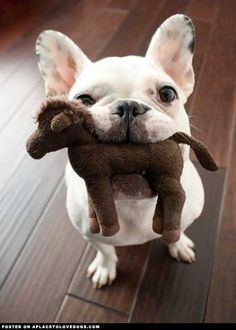 aplacetolovedogs:    An adorably cute French Bulldog wants to show you his stuffed toy!  Original Article