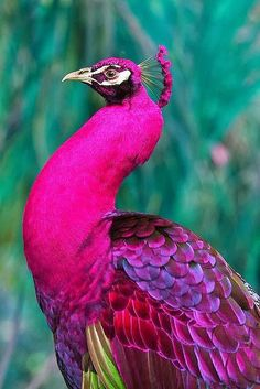 rare pink peacock - beautiful Okay, nature, you've managed to combine two things I don't like :birds and the color pink; and somehow made one of my absolute favorite things ever. Exotic Birds, Colorful Birds, Exotic Pets, Colorful Animals, Purple Animals, Tropical Birds, Pretty Birds, Love Birds, Rare Animals