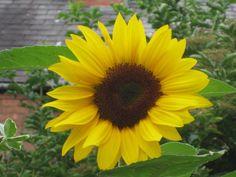 sunflower windows wallpaper