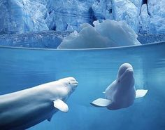 Beluga Whales in their natural setting