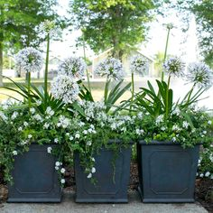 'Queen Mum' Agapanthus under planted with Angelina sedum, and Trailing Rosemary.