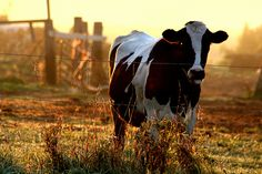 Bad-mannered Cow   Flickr - Photo Sharing!