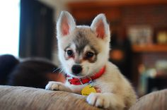 Miki -- our new Alaskan Klee Kai pup, 8 weeks old