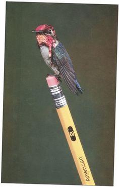 Bee Hummingbird || International Wildlife, May-June 1991 Photographs by Robert A. Tyrrell