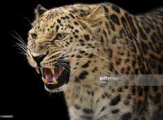 Stock Photo : growling leopard