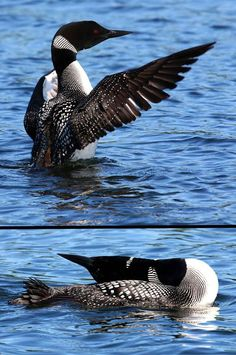 Loon ... I live on a lake in Maine and loons r so fun to watch , I see them lay their heads back like this .